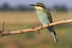 Pájaro colorido con plumas verdes y una barbilla amarilla, comedor de abeja Foto de archivo