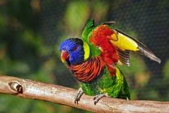 Pájaro colorido de Lorikeet que levanta las alas Fotos de archivo libres de regalías