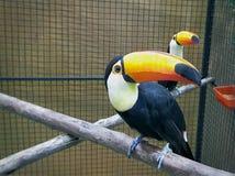 Pájaro colorido del tucán del primer en la jaula foto de archivo