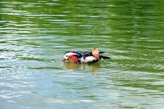Pájaro colorido en el agua Imágenes de archivo libres de regalías