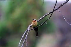 Pájaro colorido en la ramificación Foto de archivo libre de regalías