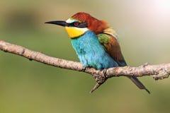 Pájaro colorido en una rama con apuroses soleados Foto de archivo libre de regalías