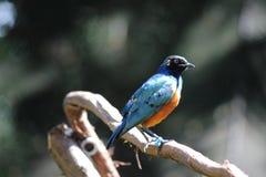 Pájaro colorido grande Imagen de archivo