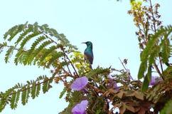 Pájaro colorido ruandés que come el néctar en árbol en bosque tropical Fotos de archivo libres de regalías