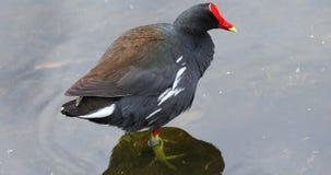 Pájaro común del gallinule florida EE.UU. almacen de metraje de vídeo
