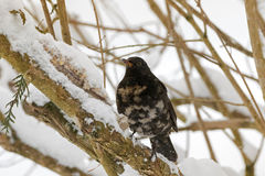 Pájaro común del mirlo del varón en negro con el feath del blanco gris del albino Fotografía de archivo libre de regalías