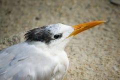 Pájaro con cresta de la golondrina de mar foto de archivo libre de regalías