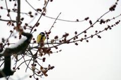 Pájaro con el pecho amarillo en una rama con nieve Foto de archivo