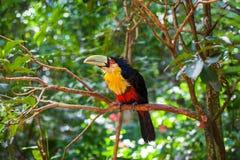 Pájaro con el pico enorme Foto de archivo