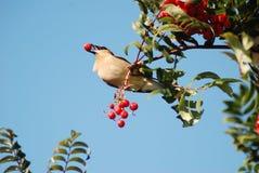 Pájaro con la baya en su pico Imagen de archivo