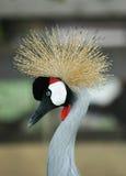Pájaro con la corona fotografía de archivo libre de regalías