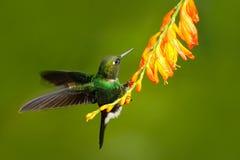 Pájaro con la flor anaranjada Colibrí del vuelo, colibrí en mosca Escena de la acción con el colibrí Tourmaline Sunangel ea del c Imágenes de archivo libres de regalías