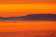 Pájaro con puesta del sol anaranjada hermosa Garza blanca en el hábitat de la costa de la naturaleza, delta del río de Tarcoles,  fotos de archivo libres de regalías