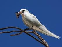 Pájaro con una captura Golondrina de mar blanca, golondrina de mar del ángel, bobo blanco, Gygis alba Fotografía de archivo libre de regalías