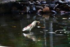 Pájaro con una captura y una reflexión Imagen de archivo libre de regalías