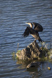 Pájaro - cormorán Doble-con cresta foto de archivo libre de regalías
