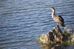 Pájaro - cormorán Doble-con cresta Imagen de archivo