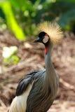 Pájaro coronado de la grúa Fotografía de archivo