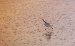 Pájaro corriente de la lavandera en la playa Imagen de archivo libre de regalías