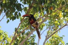 Pájaro Costa Rica de Aracari Imágenes de archivo libres de regalías