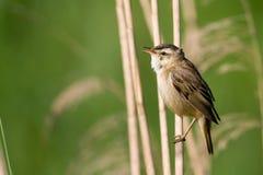 Pájaro - curruca de juncia Imagen de archivo