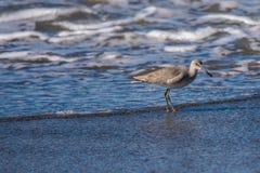 Pájaro de agua del Sanderling que forrajea para la comida en la playa cerca del agua del océano imagen de archivo