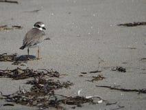 Pájaro de agua que corre lejos de marea entrante imagen de archivo libre de regalías