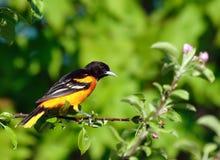 Pájaro de Baltimore Oriole   foto de archivo libre de regalías