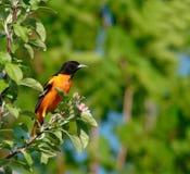 Pájaro de Baltimore Oriole imágenes de archivo libres de regalías