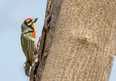 Pájaro de Barbet del calderero Fotografía de archivo