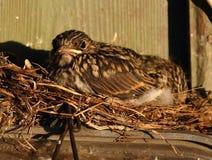 Pájaro de bebé Imagenes de archivo