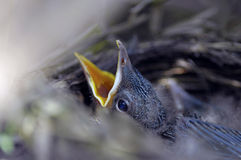 Pájaro de bebé Foto de archivo