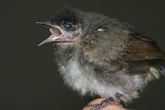 Pájaro de bebé fotos de archivo libres de regalías