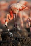 Pájaro de bebé del flamenco del Caribe Imágenes de archivo libres de regalías