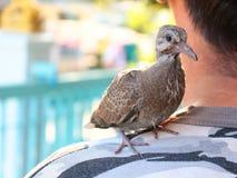 pájaro de bebé en hombro Imagenes de archivo
