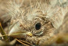 Pájaro de bebé en jerarquía Fotos de archivo libres de regalías