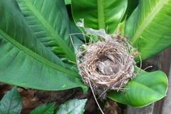 Pájaro de bebé, gorrión en jerarquía natural en árbol Fotos de archivo libres de regalías
