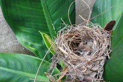 Pájaro de bebé, gorrión en jerarquía natural en árbol Fotografía de archivo libre de regalías