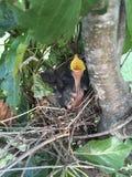 Pájaro de bebé hambriento Imágenes de archivo libres de regalías