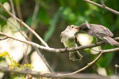 Pájaro de bebé que es alimentado por su papá Imágenes de archivo libres de regalías