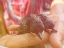 Pájaro de bebé recién nacido en la mano del ` s de la mujer mayor Imágenes de archivo libres de regalías