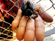 Pájaro de bebé recién nacido en la mano del ` s de la mujer mayor Imagenes de archivo