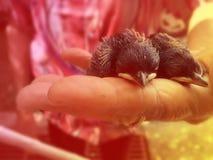 Pájaro de bebé recién nacido en la mano del ` s de la mujer mayor Foto de archivo libre de regalías