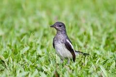 Pájaro de bebé - Urraca-petirrojo oriental Foto de archivo libre de regalías