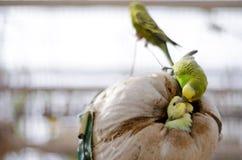 Pájaro de bebé y su madre Fotografía de archivo libre de regalías