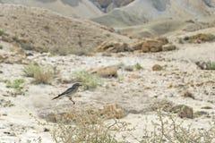 Pájaro de Blackstart encaramado en un arbusto del desierto foto de archivo libre de regalías