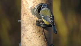 Pájaro de Bluetit que alimenta en dispencer artificial de la alimentación almacen de video