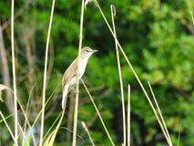 Pájaro de Brown en la planta de lámina, Lituania fotografía de archivo libre de regalías
