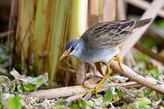 Pájaro de Brown en lagunas Imágenes de archivo libres de regalías