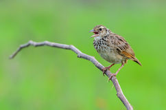 Pájaro de Brown en rama Imagen de archivo libre de regalías